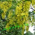 Le cytise - Laburnum vulgare