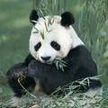 Panda mange