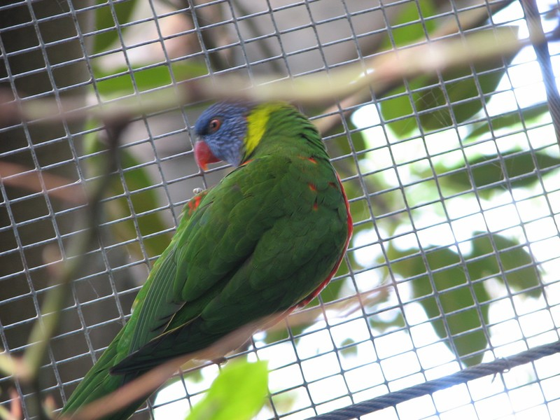 Un rainbow lorikeet