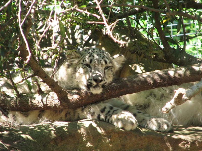 Le snow léopard