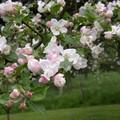 Fleurs_de_coing