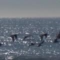 ... encore des oiseaux marins...