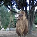 Autre chameau