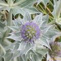 Eryngium maritimum (Chardon des dunes)-> sigle du conservatoire du littoral
