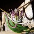 Clematis X (Clématite) ici une fleur fanée