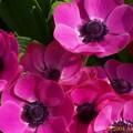 Ranunculus (Renoncule)