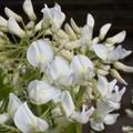 Wisteria chinensis (Glycine de chine)