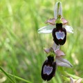 orchides d'Isre