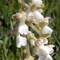 orchis bouffon albinos (orchis morio)