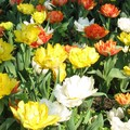 Tulipes du printemps