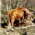 Vache écossaise photographiée par Genorb en 2001