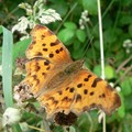 Polygonia c-album (Le robert le diable)