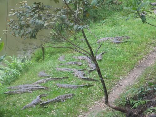 Foule de crocodile