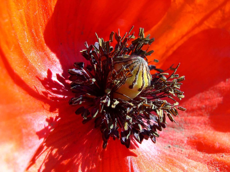 coquelicot_dans_un_champ__06