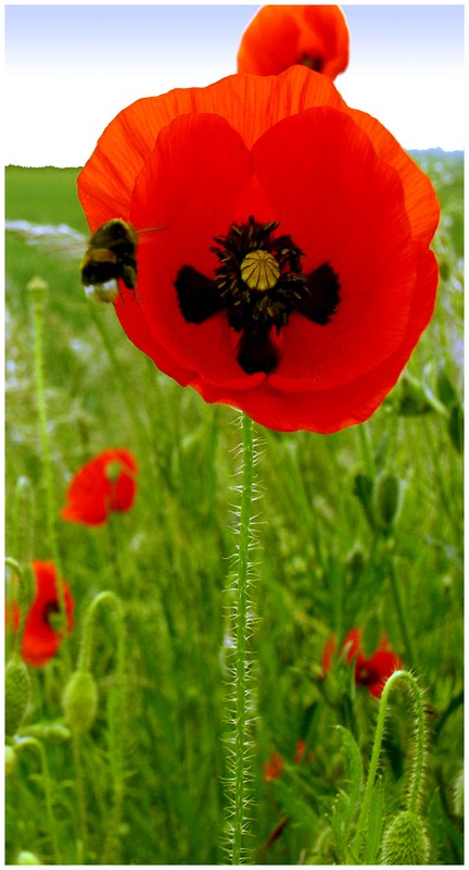 coquelicots_22a