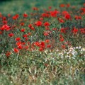 Coquelicots