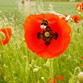 coquelicots_14a