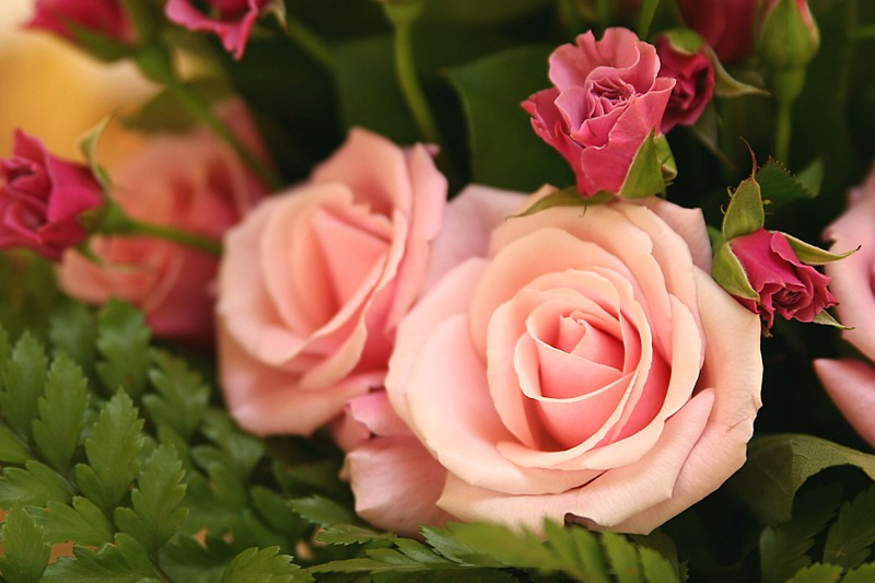 Roses_Axelle_2
