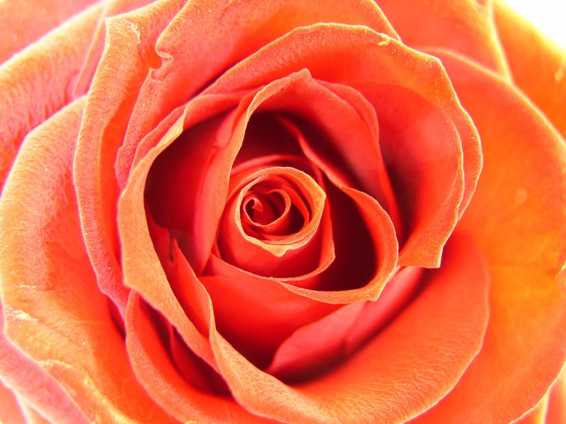 rose_rouge_002