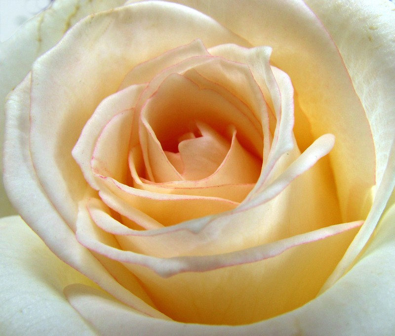 roses_blanches_03