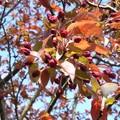pommier rose
