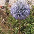 un peu de bleu,echinops