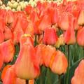 Tulipes de La Torche (pays bigouden)