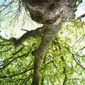 le feuillage du vieux chêne,vu d'en bas