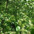 vert cornouiller