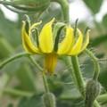 photos_Juillet_2005_Fleur_de_tomate.0881