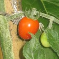 Tomates du jardin