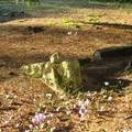 pierres et cyclamen