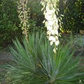 yucca 