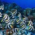 poissons_cochers_2