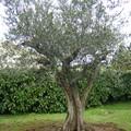 Tout frais planté l'olivier.. la pelleteuse est partie mais nous tremblons.. Va t il reprendre?