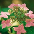 Hortensia - rose