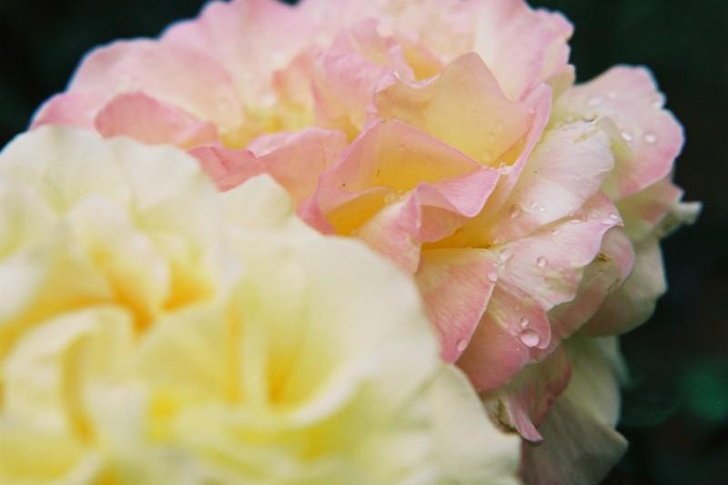 Rose rose, jaune