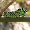 chenille de Machaon