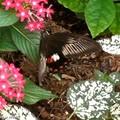 Papilio polytes • papilionidae • Philippines