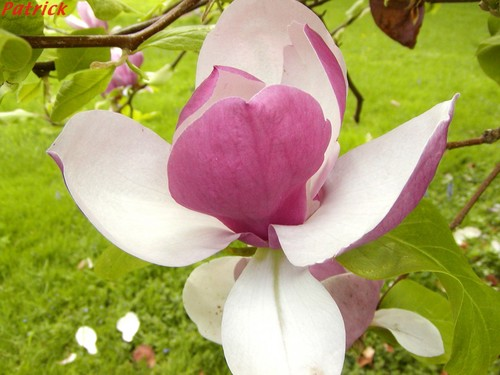 fleur de magnolia photo de les jardins du grand courtoiseau 45 trigueres le jardinoscope. Black Bedroom Furniture Sets. Home Design Ideas