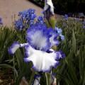 Iris dans d'autres tons bleus