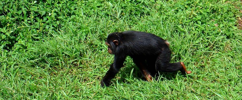 Chimp in Ngamba Island