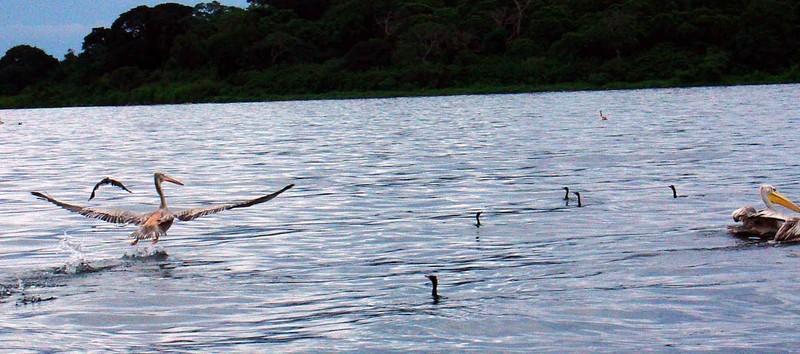 Pelikan on Lake Victoria