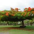 Arbres de Polynésie.