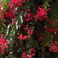 Bougainvill__fuschia