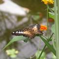 Papillons dans la serre n°4