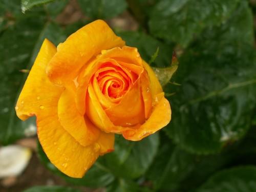 Perles de rosée sur bouton de rose jaune
