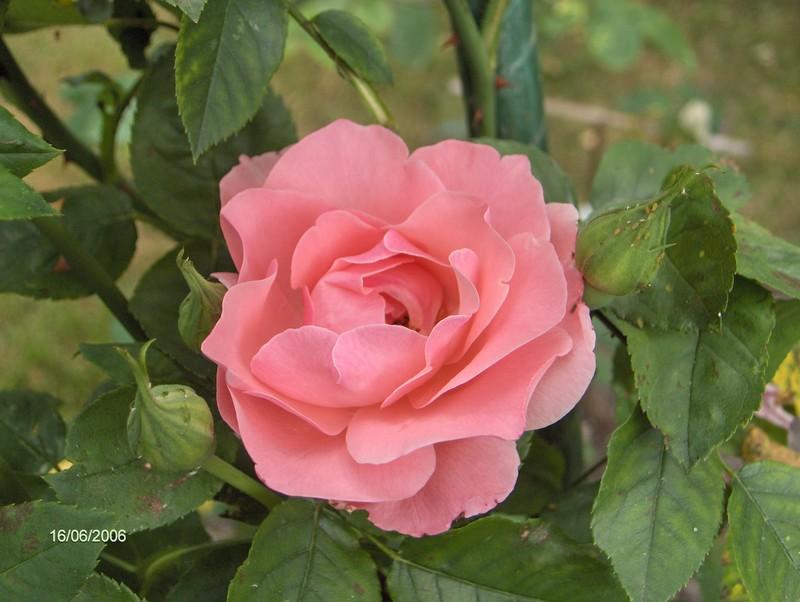rose couleur layette photo de les roses le jardin de. Black Bedroom Furniture Sets. Home Design Ideas