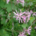 LYCHNIS, fleur de coucou