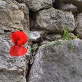 coquelicot_sjacques_paris